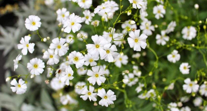 Autumn Sowing Gypsophila Covent Garden Higgledy