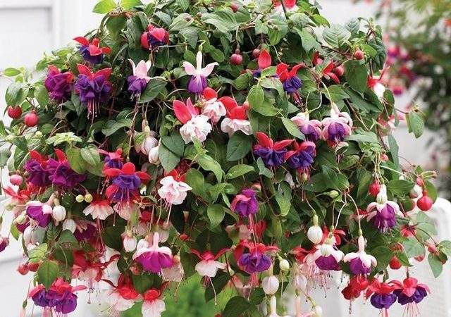 Best Plants Hanging Baskets Balcony Garden Web