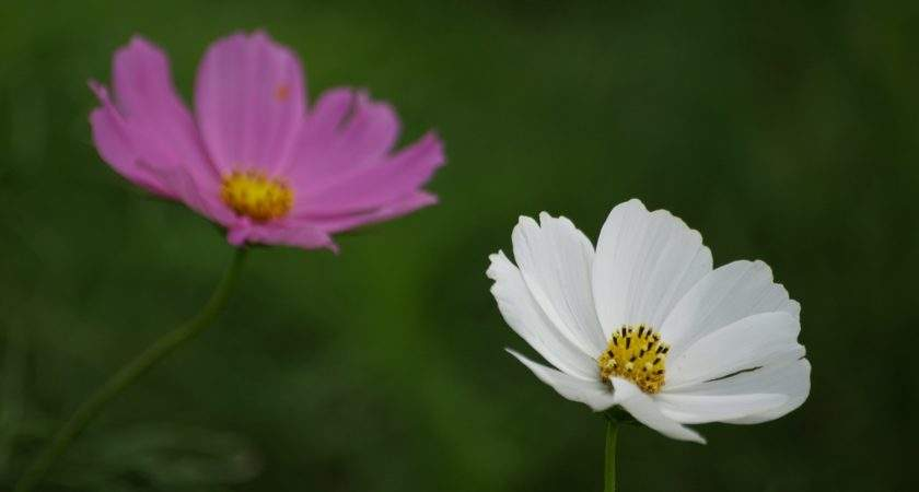 Flower Photography White Pink Flowers Green