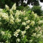 Rare Shrubs Unusual Plants Wholesale Nurseries