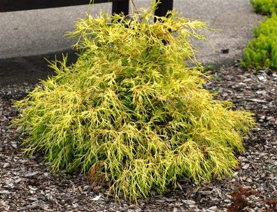 Two Unusual Chartreuse Evergreen Trees Shrubs