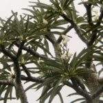 Unusual Plant Pachypodium Lamerei Lovely Plants